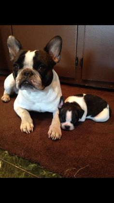 Duke the French Bulldog and his new puppy