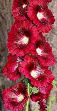 Hollyhock is a host plant for Painted Lady butterflies.