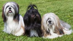 The Lhasa Apso comes under the Utility Group of the UK Kennel Club and the Non-Sporting Group in the Australian Kennel Club classfications. They are similar looking to the Shih Tzu which causes some confusion. Japanese Dog Breeds, Japanese Dogs, The Animals, Dog Breeds List, Cute Dogs Breeds, Pet Breeds, Lhasa Apso Puppies, Bichon Frise, Shih Tzu Dog