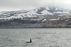 12-5-2016, Orcas off Olafsvik, Iceland by Laki Tours