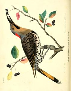 Flicker or bronze-winged woodpecker, The Cabinet of Natural History and American Rural Sports, Vol. II, monthly journal published in Philadelphia: J. & t. Doughty, 1832.