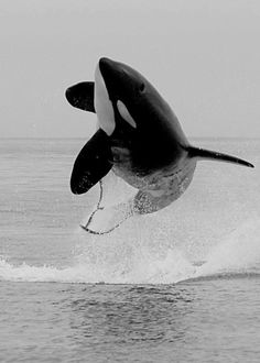 Orca in the wild . Stop going to Sea World and supporting Orca entrapment for entertainment. Orcas, Beautiful Creatures, Animals Beautiful, Save The Whales, Water Animals, Ocean Creatures, Killer Whales, Mundo Animal, Sea World