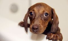 What type of dog looks like a Doxie (dachshund) but has longer legs? Is there such mix breed that equals dachshund body - long legs! Please post the breed. Dog Urine, Education Canine, Aggressive Dog, Dachshund Love, Dachshund Puppies, Puppy Eyes, New Puppy, Dog Behavior, Dog Owners