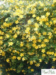 Dry Shade Plants, Garden Shrubs, Garden Borders, Weed, Garden Design, Grass, Sunshine, Gardening, Yellow