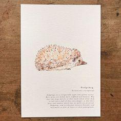 A Natural Year - Hedgehog - A5 Print — anniebrougham.com English Gifts, History Books, Natural History, Fine Art Paper, Hedgehog, Digital Prints, Fine Art Prints, A5, Nature