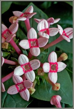 Close-up of flowers of Bouvardia 'Royal Edith'. Bouvardia belongs to the Madder family (Rubiaceae), and is, therefore, related to both the Coffee plant and the Gardenia. Bouvardia flowers are composed of slender tubes, topped by four petals in a cross-formation. Photo by Brian Johnston