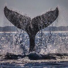 With the same animation as a breaching whale, a humpback smashes its large tail against the ocean surface over and over.  This can go on for an hour or more.  From the distance, it sounds like a canon shot and for however far it can be heard above water, it resonates much further through the dense sea.  This is no doubt a form of communication and I would love to know what they are saying to one another.