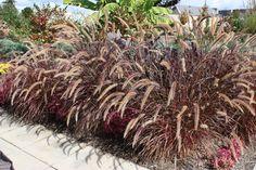 pennisetum x advena rubrum - alternate grass choice - not native.