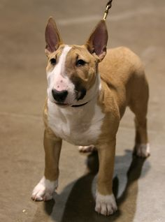 Bull Terrier puppy | by Dogs in Canada