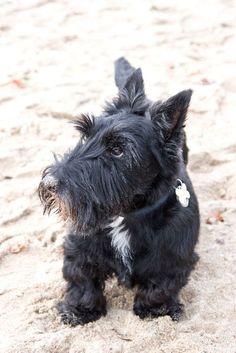 Sadie the Scottie on the beach