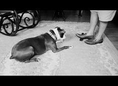 bullysmiles:  Are ya gonna let it go.. by NatashaRuz on Flickr.#pitbulls #dog breeds #canine pet #dogs #pitbull puppy #pitbull dog #pitbull breeds #red nose pitbull #pitbull terrier #apbt #staffordshire terrier #amstaff #english terrier #black pitbull #moo moo pit #chocolate pitbull #pitbull poodle #blue nosed pit #pitbull mutt #mans best friend #4 month old pitbull