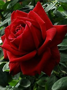 Rose Gardening Ok Folks, this says it all. Not one thing prettier than a red rose. Beautiful Rose Flowers, All Flowers, Amazing Flowers, My Flower, Special Flowers, Hybrid Tea Roses, Planting Flowers, Floral, Gardening