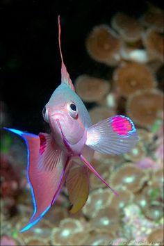 Hermoso peces Anthias