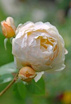 Rose 'Jude the Obscure' ~ a delicate beauty..