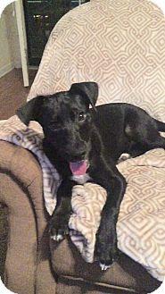 Hatifeld, PA - Labrador Retriever Mix. Meet Dayzee, a puppy for adoption. http://www.adoptapet.com/pet/13881440-hatifeld-pennsylvania-labrador-retriever-mix