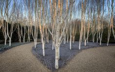 Silver birch trees in The Winter Walk at Anglesey Abbey, Cambridgeshire Picture: NATIONAL TRUST IMAGES