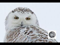 DANS LA NATURE Ep.38 : À la recherche du harfang des neiges Nature Sauvage, Snowy Owl, Wild Nature, Wilderness, Canada, Search, Animals, Searching, Animales