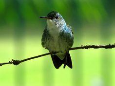 Foto beija-flor-de-barriga-branca (Amazilia leucogaster) por Gilvan Moreira | Wiki Aves - A Enciclopédia das Aves do Brasil