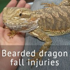 How to prevent falling injuries in pet Bearded dragons