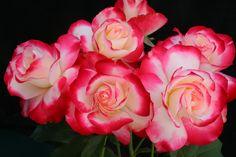 """Cherry Parfait"" Grandiflora rose."