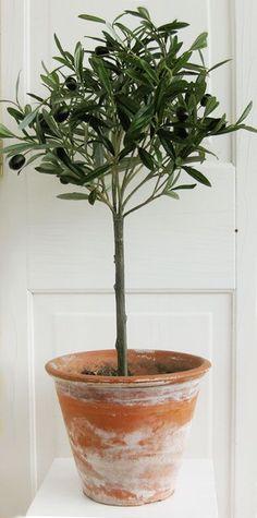new Ideas for olive tree indoor planters Potted Olive Tree, Potted Trees, Indoor Olive Tree, Olive Plant, Dwarf Olive Tree, Garden Trees, Garden Plants, Indoor Plants, Baumgarten