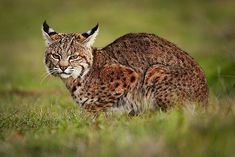 Feeding Russia's and China's Fur Fixation, American Trappers Make a Killing with Bobcat Pelts - rising pelt prices fueled a 50 percent increase in California bobcats killed in 2012 compared with the previous year, resulting in bobcats taken from the wild. Stop Animal Cruelty, Conservation, Habitats, Wilderness, Woodland, Russia, Hunting, Wildlife, China