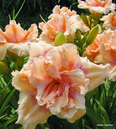 BIG KISS - Oakes Daylilies-5 1/2″ bloom, 28″ tall, Mid Season + rebloom, Dormant  If we had to make a list of our favorite daylilies, 'Big Kiss' would definitely be near the top! 'Big Kiss' is striking in the garden, but we can't decide if that is because of its big, fluffy double blooms, its gorgeous color combination of creamy light pink with a darker pink center, or because it's a fantastic multiplier. It doesn't really matter. One look and it's easy to see why this is one of our favorite…