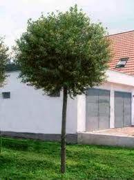 kuglekirseb r prunus fruticosa 39 globosa 39 alletr er. Black Bedroom Furniture Sets. Home Design Ideas