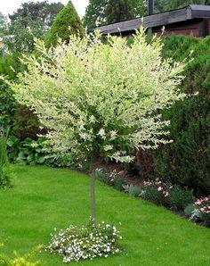 Salix integra 'Hakuro Nishiki', eukalyptusvide. Nya bladen rosavita i topparna. Bör beskäras om man vill hålla klotform. Skyddat läge i Mälardalen! Alternativ till dvärgsyrén på stam. Prydnadsträd för små ytor - Grobar