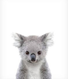 Koala print Baby animal prints Zoo animal nursery The Crown