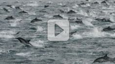 Nature at its very finest! A mega-pod of dolphins is on the move off the southern coast of California. Watch this incredible video of thousands of dolphins basking in the beautiful water. God can be found in every part of nature!
