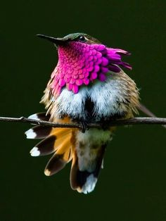Amazing Tiny Piece of Nature Art .The Wine-Throated Hummingbird (Atthis ellioti) With a length of 7 cm, it is one of the smallest birds within its range. Native to El Salvador, Guatemala, Honduras, and Mexico. Photos Colibri, Images Colibri, Pretty Birds, Beautiful Birds, Animals Beautiful, Cute Animals, Wild Animals, Nature Animals, Simply Beautiful