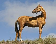 Pagoda, Akhal-Teke mare  by Kerri-Jo, via Flickr beautiful golden color