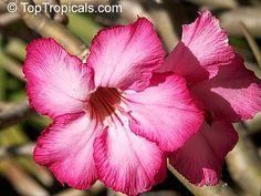 Adenium obesum, Desert Rose, Impala Lily