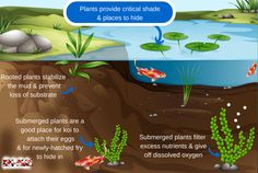 This infographic describes the importance of aquatic plants in your koi pond. They are much more than something to enhance the beauty of your pond but rather they filter, provide oxygen and refuge for fish. Visit: http://koi-care.com/understanding-koi-pond-filtration/