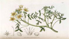 メドウフォーム Meadowform  Limnanthes douglasii R. Br.   Edwards's Botanical Register  (1835)