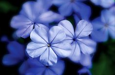 Pictures+Of+Blue+Flowers | Blue Flowers Photograph