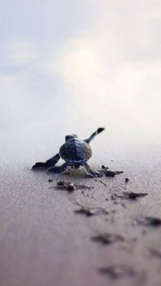 Baby Ocean Turtle struggling to get to the ocean to survive. - Baby Ocean Turtle struggling to get to the ocean to survive. Cute Baby Turtles, Small Turtles, Ocean Turtle, Turtle Love, Beautiful Creatures, Animals Beautiful, Garden Wallpaper, Tier Fotos, Cute Little Animals