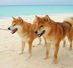 shibe beach day