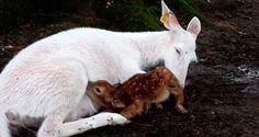 cierva albina da a luz a dos cervatillos