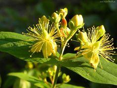 Żółte, Kwiaty, Dziurawiec, Zwyczajny