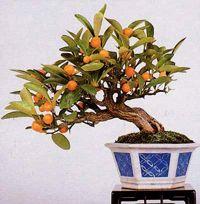 marumi kumquat bonsai1 Marumi Kumquat Bonsai Tree
