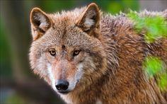 動物のクローズアップ、オオカミの肖像画 壁紙 - 1920x1200