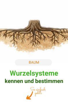 Wer Bäume erfolgreich ein-, um- und unterpflanzen will, sollte ihre Wurzelsysteme kennen. So kommen sich die Pflanzen im Garten mit ihren Wurzeln nicht in die Quere. #baum #wurzel #wurzelsysteme #meinschoenergarten Movie Posters, Knowledge, Root System, Roots, Film Poster, Billboard, Film Posters