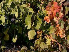 Languedoc Russillon, Les Vandanges Grape Harvest
