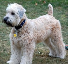 Soft Coated Wheaten Terrier. LOVE. I have a rescued SCWT mix named Mico. He's Canine Good Citizen Certified. He's my absolute favorite canine friend.