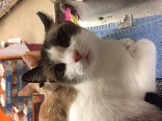 Bandit V is an adoptable Snowshoe Cat in East Stroudsburg, PA Bandit's owner moved, left her, her baby, and 3 others.  Looking for a permanent home ...Read more about me on @petfinder.com