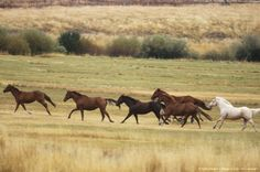 Wild mustangs in eastern Oregon.