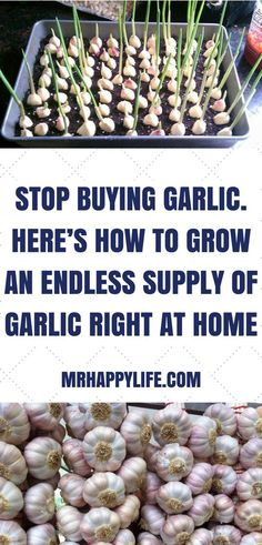 Grow Garlic In Your Garden! Garlic is arguably one of the world's most versatile and healthiest foods. While you can use garlic to add some serious flavor to any dish, garlic also has quite the long list of health benefits as well. Growing Veggies, Growing Herbs, Growing Garlic From Cloves, Garlic Growing Indoors, Growing Greens, Veg Garden, Edible Garden, Terrace Garden, Fruit Garden