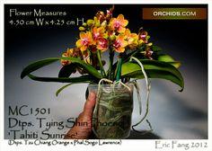 Dtps. Tying Shin Phoenix 'Tahiti Sunrise'  (Dtps. Tzu Chiang Orange x Phal.Sogo Lawrence)